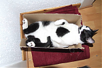 Nelle the Cow Cat in her Milk-Box.